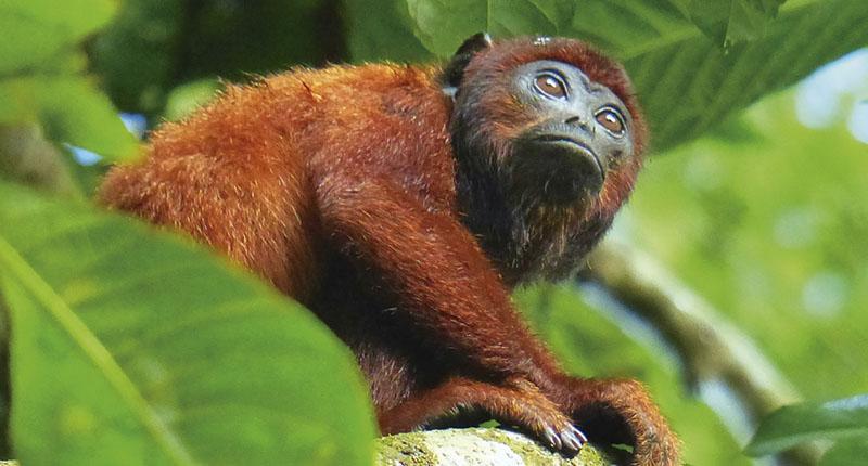 Monkey in Tambopata